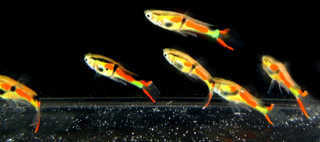 3 PAIR RED CHESTED ENDLERS
