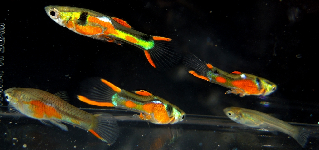 RED CHESTED N CLASS ENDLERS