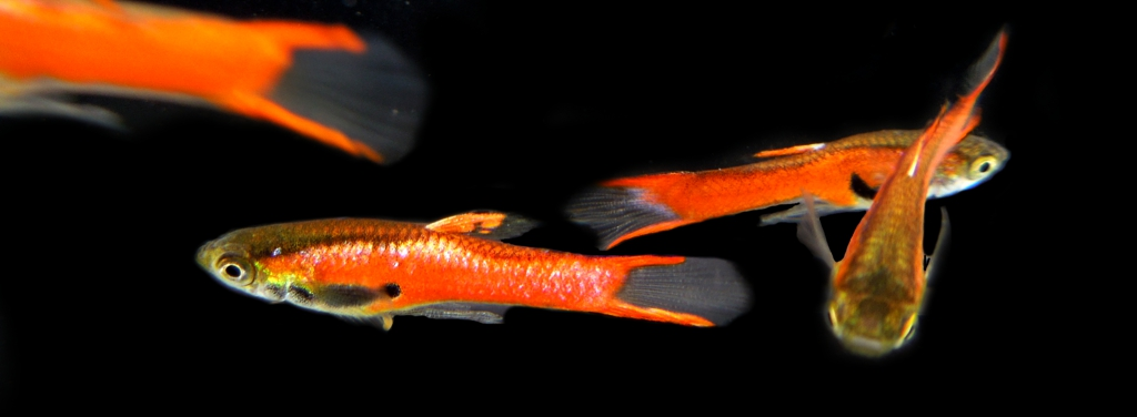 PAIR of RED CHILI ENDLERS