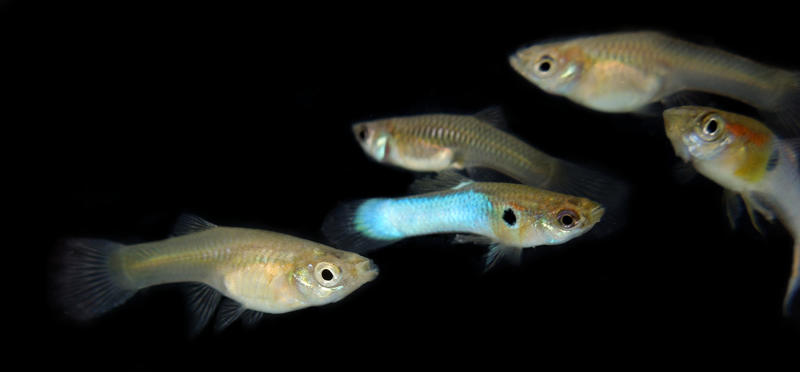 1 PAIR K CLASS JAPANESE NEON BLUE ENDLERS with FREE SHIPPING