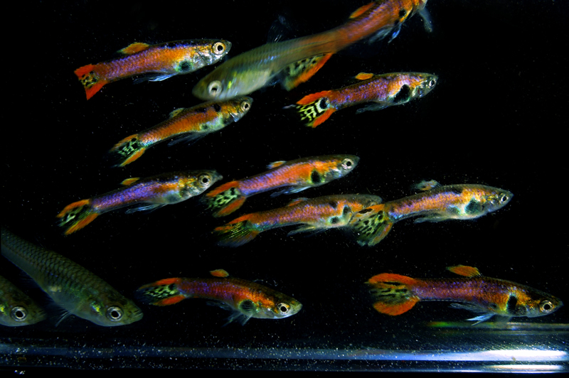 Archived auction fwguppies1452067876 for Jan s tropical fish