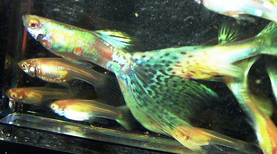 1 YOUNG PAIR RREA Rainbow Delta Mosaic Guppies + 3 FRY with FREE SHIPPING