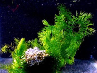 Bunch of (1) NAJA Grass, (1) Hornwort and (1) Clump of SAGITTARIA